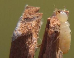phoenix termite